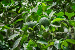 Fresh limes on tree. Fresh limes on lime tree Royalty Free Stock Images