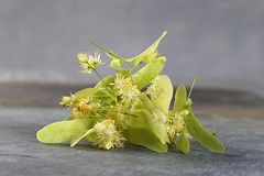 Fresh Linden Flowers Royalty Free Stock Photo
