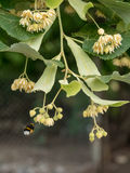 Fresh linden flowers on the tree - nature background Royalty Free Stock Photo