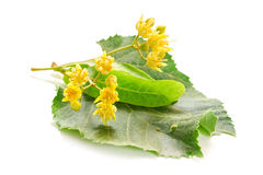 The fresh linden flowers Royalty Free Stock Image