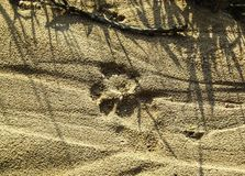 Fresh lion tracks on the ground stock image