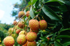 Fresh litchi. Hung on litchi tree, has matured. Litchi is a very delicious tropical fruit. In Shenzhen, China Stock Images