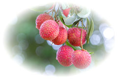 Fresh litchi/lychee on litchi/lychee tree Royalty Free Stock Image