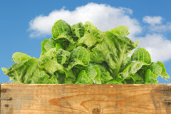 Fresh little gem lettuce Royalty Free Stock Photography