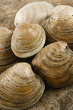 Fresh Littleneck Clams. This close up view of fresh littleneck clams on a natural rock background with shallow depth of field shows shellfish as a tasty treat Stock Photography