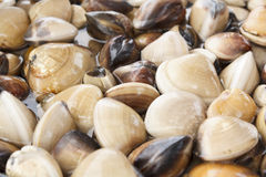 Fresh live clams Stock Image