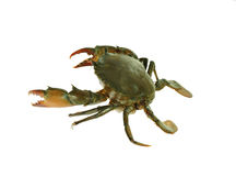 Free Fresh Live Crab Isolated On White Background Stock Image - 96901861