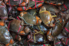 Fresh live crabs on the market in India Royalty Free Stock Photos