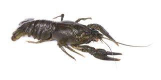 Fresh live crayfish isolated on white background royalty free stock photography