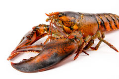 Fresh Live Lobster Royalty Free Stock Photo