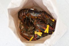Fresh live lobsters in paper bag Royalty Free Stock Photo