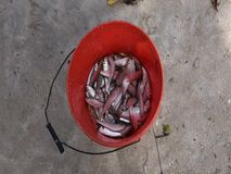 Fresh live sprat in a bucket stock video