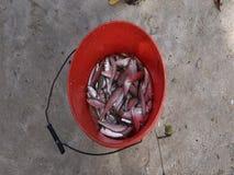 Fresh live sprat in a bucket stock video