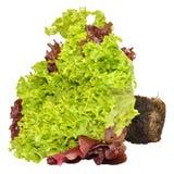 Fresh Living Lettuce Royalty Free Stock Photo