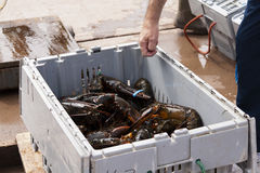 Fresh Lobster Stock Image