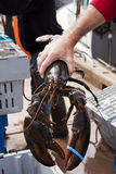Fresh Lobster. Freshly caught lobster off loaded from a boat in North Lake, PE, Canada royalty free stock images