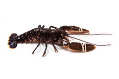 Fresh lobster. Royalty Free Stock Image