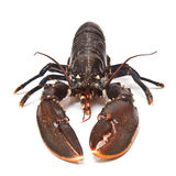 Fresh lobster. Royalty Free Stock Images