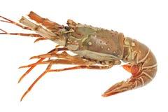 Fresh Lobster Stock Photos