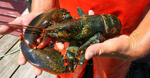 Fresh Lobster on the Dock. Fresh caught lobster,  being held in hands of lobsterman Stock Photo