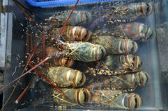 Fresh lobster in the fish market Royalty Free Stock Images