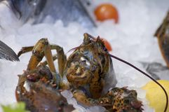 Fresh lobster in ice. A closeup of a fresh lobster, in ice with some lemons and tomatos in a Venice fish market Royalty Free Stock Photos