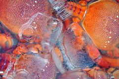 Fresh lobster on ice Royalty Free Stock Images
