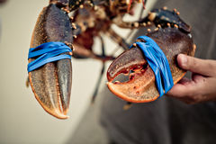 Fresh Lobster Royalty Free Stock Image