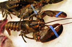 Fresh lobster on the stall of a fishmonger. Crustacean close-up on the ice of a fishmonger stock photography