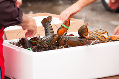 Fresh Lobsterfest. Fresh Lobsters being unpacked to boil for Lobsterfest in Strathroy Ontario Canada stock photography