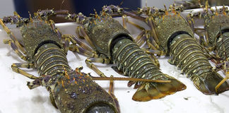 Fresh lobsters on the counter on the market for sale Royalty Free Stock Photography