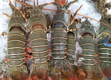 Fresh lobsters on the ice for sale at restaurants seafood closeup. Royalty Free Stock Images