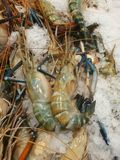 Fresh lobsters Royalty Free Stock Images
