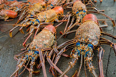 Fresh lobsters of santa cruz in market seafood photographed in fish market, galapagos.  royalty free stock photos