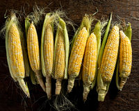 Fresh Local Organic Corn on the Cob. Against a rustic harvest table background Royalty Free Stock Images