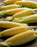 Fresh Local Organic Corn on the Cob. Against a rustic harvest table background Royalty Free Stock Photos