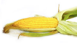 Fresh local organic corn Royalty Free Stock Photo