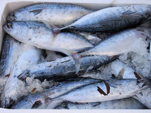 Fresh Locally Caught Bonito, Greek Street Market Royalty Free Stock Photo