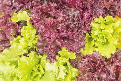 Fresh Lollo Rosso lettuce and Green lettuce. Fresh healthy leaves of Lollo Rosso or coral lettuce and Green Frisee lettuce. Close up Royalty Free Stock Images