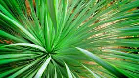 Fresh Long Green Leaves of Desert Plant Stock Photo