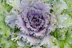 Fresh long lived cabbage in the garden. Close up of fresh long lived cabbage in the garden royalty free stock photos