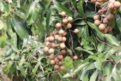 Fresh longan fruit Stock Image