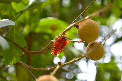 Fresh longan and insect. On tree Stock Photography