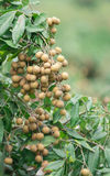 Fresh longan on tree Royalty Free Stock Photos