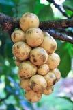 Fresh longkong on tree Royalty Free Stock Photo