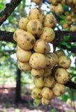 Fresh longkong on tree Stock Photography