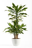 Fresh Look Dracaena Fragrans Flowering Plant Stock Photo