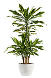 Fresh Look Dracaena Fragrans Flowering Plant Stock Images