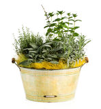 Fresh Look Herbs and Spices Plant on Washtub Pot Stock Photography