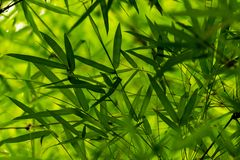 Fresh look of Thai bamboo leaves texture after raining. Khampangpetch, Thailand royalty free stock photos